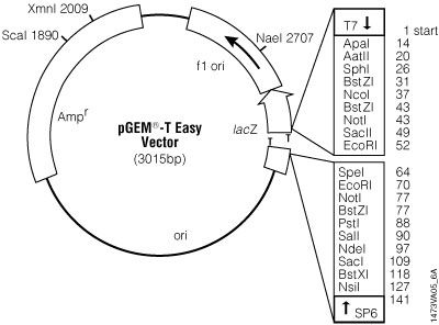 pGEM®-T Easy Vector circle map.