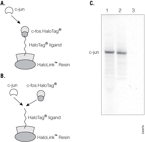 Detection of protein:protein interactions using HaloLink Resin.