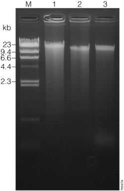 Agarose gel electrophoresis of DNA isolated from 400 microliters of Oragene DNA/saliva samples.