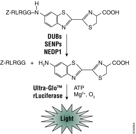 The luminogenic substrate, Z-RLRGG-aminoluciferin, is recognized by numerous deconjugating proteases including DUBs, SENPs and NEDP1.