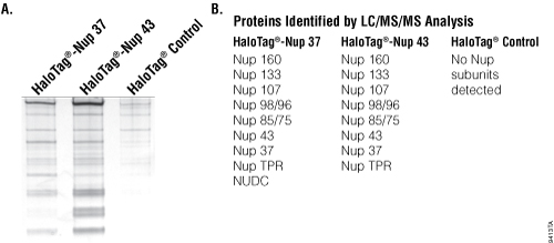 Capture of macromolecular complex Nup 107-160.